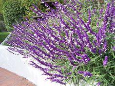 The 2 Minute Gardener: Photo - Mexican Bush Sage (Salvia leucantha)