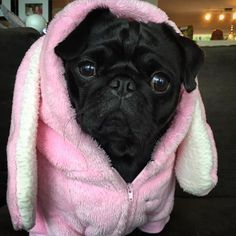 Pug bunny?