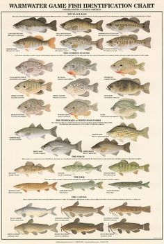 Art Print: Warmwater Gamefish of North America Art Print : Bass Fishing Tips, Gone Fishing, Best Fishing, Trout Fishing, Fishing Boats, Fishing Lures, Fishing Tricks, Fishing Basics, Fishing Stuff