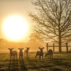 This morning's welcome committee #farmlife #lambs #sunrise