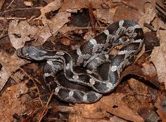 A young Black Rat Snake doesn't necessarily look black.