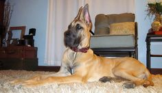 Our Great Dane baby dog Elvis! Pictured here at 9 months old!