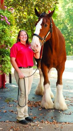 Michelle Speck has a cool job. She gets to groom and train the Budweiser Clydesdales, from the time they're cute little foals to when they grow into immense 1-ton geldings, at their stable at Grant's Farm