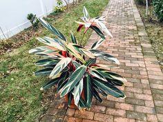 Jardineria ,plantas y su cuidado : STROMANTHE 'TRIO STAR' Stromanthe sanguinea