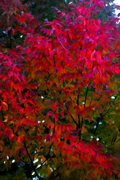 ✯ Red Leaves of Fall