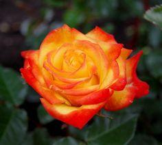 Busuioace cu miez roşu | Zdravăn Roses, Garden, Sun, Plant, Garten, Pink, Rose, Gardening, Outdoor