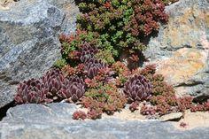 Sedum hispanicum and purple sempervivums living in the rock cracks of a retaining wall