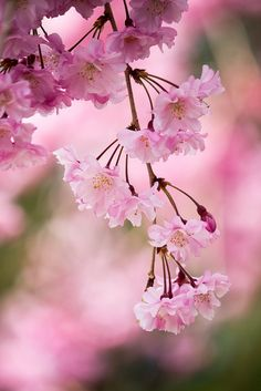 weeping cherry by Sky-Genta on Flickr.