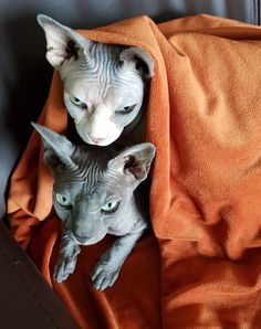 My two lovely sphynxies