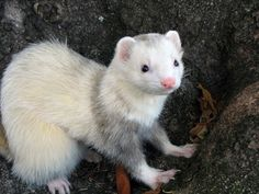 gray and white ferret