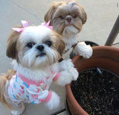 Cute Shihtzus :) Shih tzu dog dogs puppies puppy adorable grooming haircut