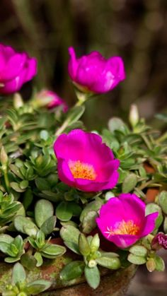 purslane, flowers, pot These are beautiful all summer; opening and closing.