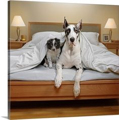 Premium Thick-Wrap Canvas Wall Art Print entitled Great Dane and Border Collie puppy in bed, None