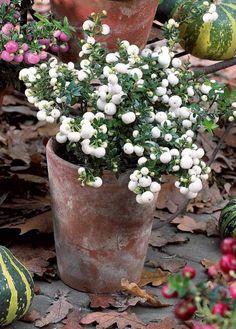 #Gaultheria blanc, persistant, compact, trapu, et se couvrant de gros #fruits décoratifs ! Retrouvez cet arbuste en rose ou rouge http://www.youtube.com/watch?feature=player_embedded&v=_zEn49NsQUM