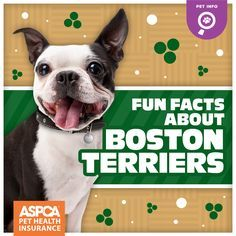 From their expressive eyes to their boundless energy, what's not to love about a Boston Terrier?