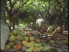 Big Island Chocolate Festival Cacao Farm Tour - Na Leo television segment - YouTube