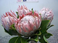 Gorgeous King Protea! Protea Flower, King Protea, Different Flowers, Paintings I Love, Cut Flowers, Diversity, Flower Art, Planting Flowers, South Africa