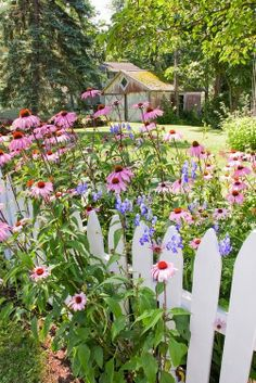 Backyard garden and white picket fence with purple...