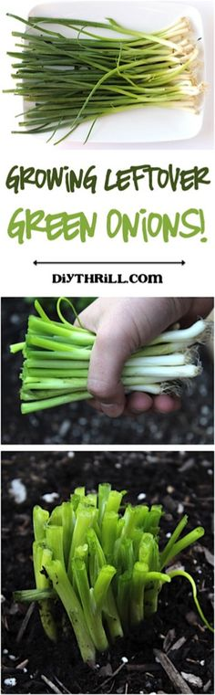 You need to check out this Tip for Growing Leftover Green Onions! What if you only had to buy Green Onions once?