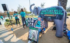 """Why #Elephants, Like Billy, Don't Belong in #Captivity - Based on what science has taught us, elephants -- like 28-year-old Billy -- do not belong in #zoos. 