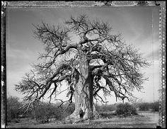 Baobab: Tree of Generations #16