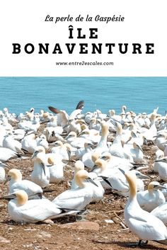 QUÉBEC |L'Île Bonaventure, la perle de la Gaspésie ~ ENTRE 2 ESCALES Ontario, Road Trips, Canada Travel, Bon Voyage, Travel, Places, World, Road Trip