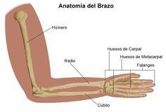 Cómo se llaman los huesos del brazo. ¿Alguna vez te han preguntado el nombre de los huesos del brazo y no has sabido responder? Es normal que olvidemos mencionar algún hueso. El esqueleto del brazo se compone por tres partes: el brazo, e...