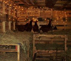 christmas lights in the coop - looks cozy.