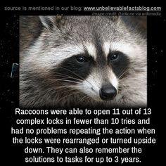"""unbelievable-facts: """" Raccoons were able to open 11 of 13 complex locks in fewer than 10 tries and had no problems repeating the action when the locks were rearranged or turned upside down. They can also remember the solutions to tasks for up to 3..."""