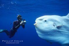 Ocean sunfish mola-mola