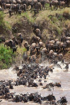 The Great Wildebeest Migration in East Africa (by Will & Matt Burrard-Lucas)