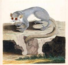 Lemurek myszaty, maki myszka /macauco/ (Brown 1776)