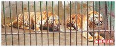 兩隻孟加拉虎暫時回到原本出借的新竹六福村。六福村提供