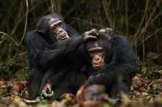 """Bromance helps stressed out warring chimps keep their cool---""""Evidence is mounting that strong social bonds buffer an individual against the negative effects of stress,"""" YES"""