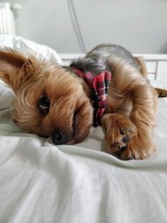 14 Things You Should Know Before Getting Your First Yorkie | Page 2 of 3 | PetPress Yorkshire Terrier Haircut, Yorkshire Terrier Puppies, Cute Puppies, Cute Dogs, Puppies Puppies, Yorshire Terrier, Top Dog Breeds, Yorky, Yorkie Puppy