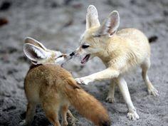 1000 images about fennec fox on pinterest fennec fox - Pagina da colorare fennec fox ...