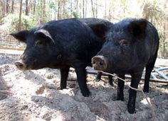 """Save the Mulefoot Hog by raising them for meat! They are considered """"critically rare"""" by the Livestock Conservancy!"""