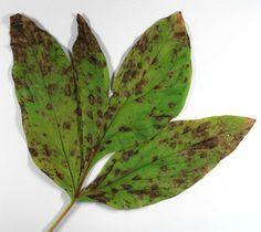 Cronartium_flaccidum (rugina la bujor)