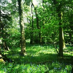 Bluebells. Near Gumley, South Leicestershire, England.