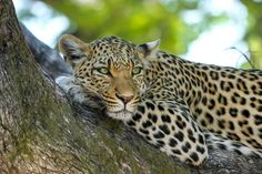 Did you know: Leopards can communicate with each other through distinctive call. They can make a hoarse, raspy cough noise, a growl and purring sounds. Listen out for the noises of the leopard on your next safari adventure in the African bush. Big Cats, Cats And Kittens, Safari Photo, Pet Shop Online, Rainforest Animals, Anime Sensual, List Of Animals, Wild Animals, Safari Animals