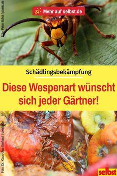 Hornisse Artenschutz Schadlinge Und Winter Uberleben