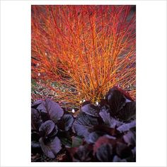 Cornus sanguinea 'Midwinter Fire', Common Dogwood, Bergenia 'Bressingham Ruby', Elephant's Ear, February. Purple-Brown foliage with red and orange stems behind with snowdrops and heather
