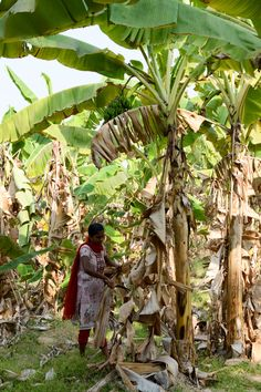 Story: Banana plantations are abundant in this area of Southern India. The plant sheds its leaves and they are gathered by the local villagers to be made into rope which will then be crocheted into Artha Collections baskets, placemats and coasters. Plant Shed, Blanket Basket, Banana Plants, Square Blanket, Karnataka, Storage Baskets, Sheds, Hand Crochet, Basket Weaving