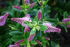 New Zealand Hebe Flower Royalty Free Stock Photo Geranium Pratense, Liriope Muscari, Hardy Geranium, Sun Loving Plants, Different Shades Of Green, Beach Gardens, Blooming Plants, Deciduous Trees, Branches