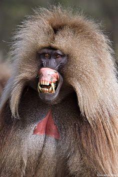 //Gelada Baboon/Bleeding Heart Baboon //Ethiopia/Semien Mountains //Old World Monkey Unusual Animals, Rare Animals, Animals Beautiful, Animals And Pets, Funny Animals, Beautiful Creatures, Primates, Mammals, Tier Fotos
