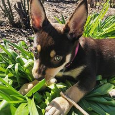 Maybe if I throw my hooman an epic puppy eyes stare she won't yell at me for chewing the plants. Puppy Breath, Puppy Eyes, Dog Breeds, French Bulldog, Landscaping, Cute Animals, Gardening, Puppies, Country