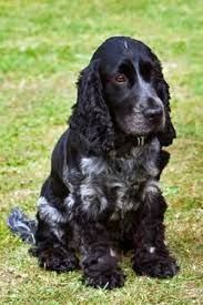 Blue Roan Cocker Spaniel More - Tap the pin for the most adorable pawtastic fur baby apparel! You'll love the dog clothes and cat clothes! Cocker Spaniel Negro, American Cocker Spaniel, Cocker Spaniel Puppies, Sweet Dogs, Cute Dogs, Spaniel Breeds, Dog Breeds, Yorkies, Cockapoo