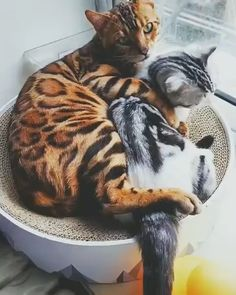 aww so pretty - Gatos Cute Funny Animals, Cute Baby Animals, Animals And Pets, Funny Cats, Pretty Cats, Beautiful Cats, Animals Beautiful, I Love Cats, Crazy Cats