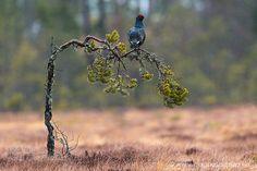 Black Grouse by photo77 via http://ift.tt/1YjiXKd