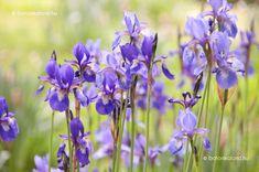 A kép forrása: botanikaland. Iris, Gardening, Tea, Plants, Gardens, Lawn And Garden, Plant, Teas, Bearded Iris